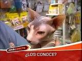 sphynx reportaje de gatos españa directo