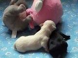 Mes bébés havanais à sept jours