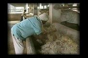 More than 28,000 cows are protected from slaughter; Mata Ji Gaushala