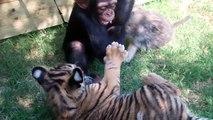 Ce petit singe s'amuse avec un tigre et un loup...