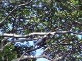WILD MOLUCCAN COCKATOOS in Indonesia (and Hawaii)