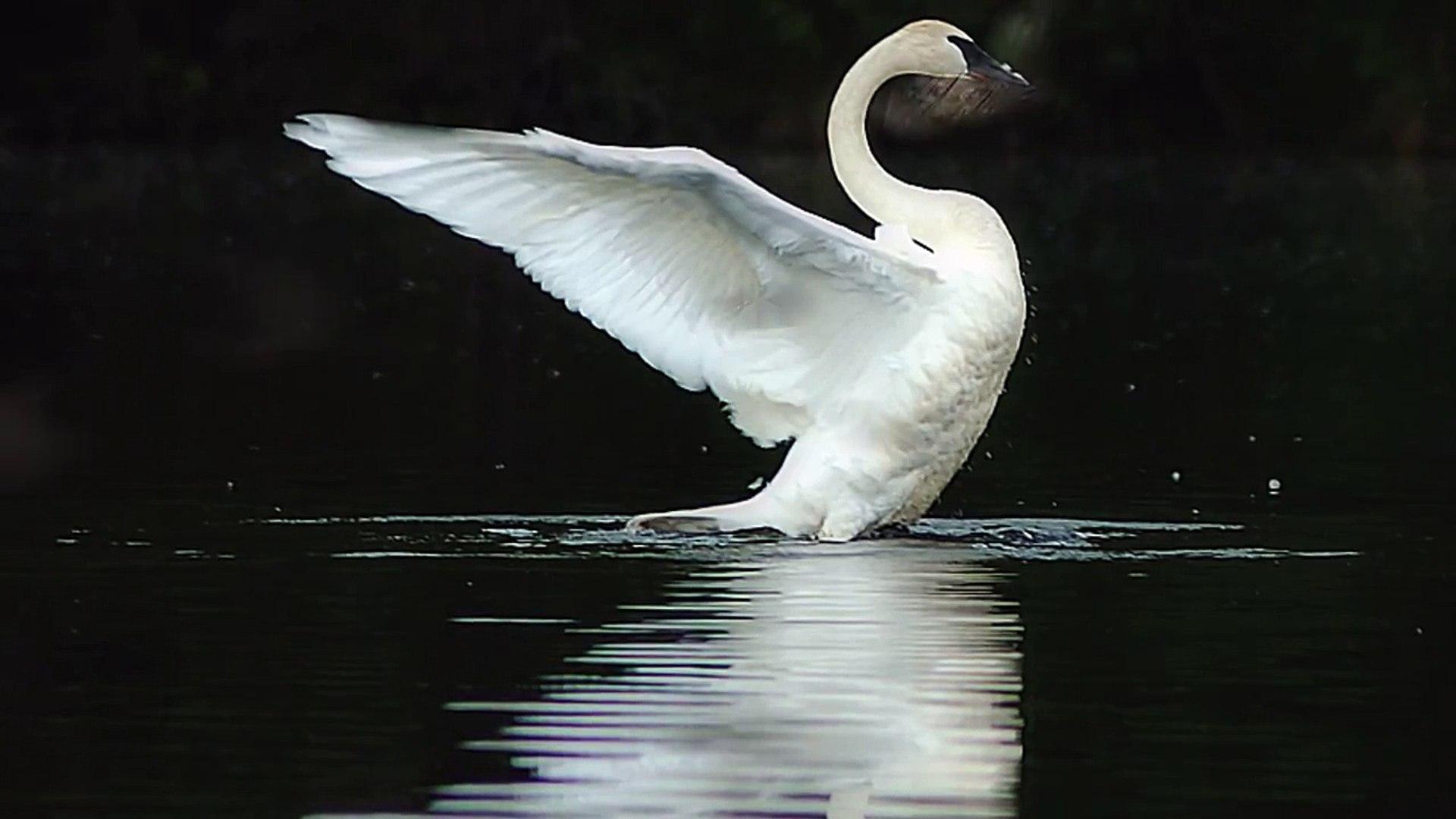 The Swan Le Cygne Camille Saint-Saens