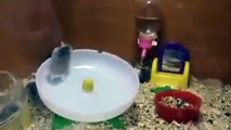 HAMSTERS LOCOS!!! ★ RATONES RATAS COLUMPIO FIESTA CRAZY RISAS FELICES ATRACCION GRACIOSO DIVERTIDO