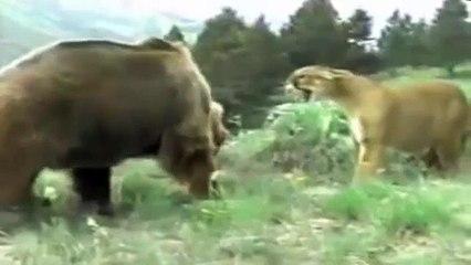 Bear Vs Lion Fight - www.kzkmedia.com