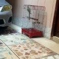 My pet elaxanderine parrot saying Assal-O-Alaikum while phone is ringing