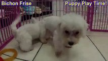 Bichon Frise, Puppies For Sale, In, Lubbock, Texas, TX, Waco