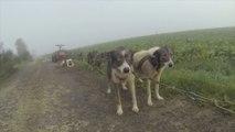 2013.10 ESSAI GO PRO Entrainement de chiens de traineau norrland husky