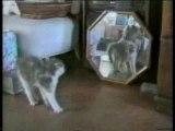 Attention! chute de chats!