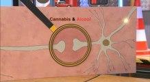C'est Pas Sorcier : les effets de l'alcool associé au cannabis