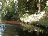 Common goldeneye nestbox, telkka ja telkänpoikasten pesästä lähtö