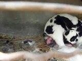 Naissance de bébés lapin en direct ! / Rabbit giving birth live