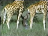 Most Extreme Giraffe gives birth. A baby seal experiences extreme temperature change
