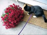 Vega's walk (Cat on a walk)