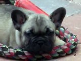 "French bulldog puppy ""Ilario De petit Farouche"" 6 weeks"