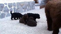 my spanish water dog puppies the first time in the street