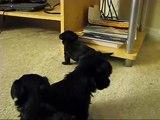 OMG! The cutest Yorkiepoo Puppies at 4 weeks!!!