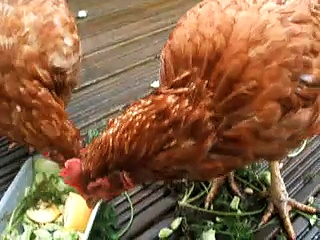 my pet chickens