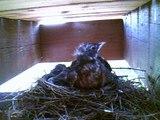 robins feeding 3 baby robins in robins nest