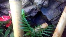 Phelsuma grandis terrarium,day gecko, phelsuma grandis