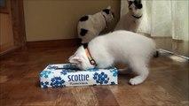 ティッシュの箱で遊ぶMIMI MIMI play in the box of tissue