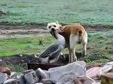 Ördek Vs Köpek Komik Köpek Kedi Kuş Papağan Ördek Eşek Fare Hayvanlar İzle