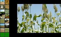 Adoção de Transgênicos na Agricultura