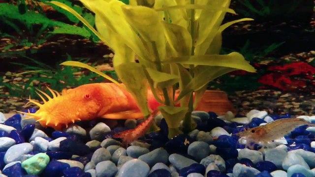 "Albino Bristlenose Pleco Catfish ""Orange Catfish?"""
