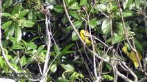 Nature Trees and Birds -  Black Headed Golden Oriole ,Red-vented Bulbul,Plam Squirrel & Other Birds