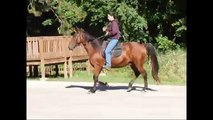 Tennessee Walking Horse gaiting smoothly, Kentucky Saddle horse gaiting smoothly