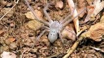 Jumping Jack Ants vs. Huntsman Spider | Monster Bug Wars