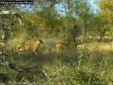 Lions Hunting Impala WildEarth Djuma