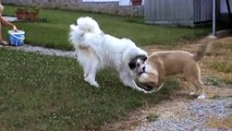 Pyrenean mountain dog and Caucasian mountain dog fight