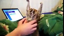 Slow Loris Funny Video Clip Must Watch and Share