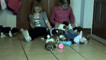 Shih tzu Bichon Frise dog Mix Teddy bear puppies  Shih tzu Bichon puppies for sale