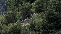 Video ours brun des pyrénées en liberté par Altair Nature