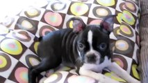 FUNNY COMPILATION, dog compilation- Boston Terrier vs Staffordshire Bull Terrier