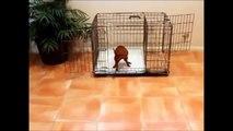 How To Potty Train A Siberian Husky Puppy - Husky House Training Tips - Housebreaking Husky Puppies