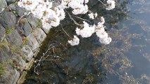 [#004]  桜  #1  赤坂プリンスホテル  [ Cherry blossoms  #1  Akasaka Prince Hotel (Tokyo, Japan) ]