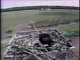 Parents and Chicks Fighting It Out on Blackwater Osprey Cam