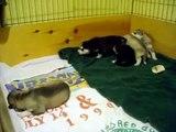 Siberian Husky Puppies Playing - 2 Weeks Old
