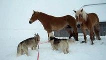 deux Huskies vs deux chevaux...