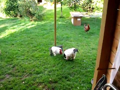 Chicken mirror, mirror chicken