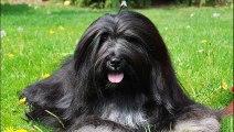 Bearded Collie -  Herding breed of dog