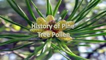 The Benefits of Pine Pollen - Superfood Powder from the Pine Tree