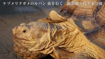 ケヅメリクガメのルパンくん 街を行く@Panasonic LUMIX GH4 4K撮影