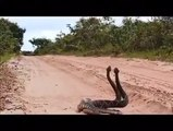 The Most unbelievable Video  I've ever seen on  the internet -two Cobra fight