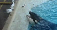 Un orque attrape un oiseau en vol et le noie !