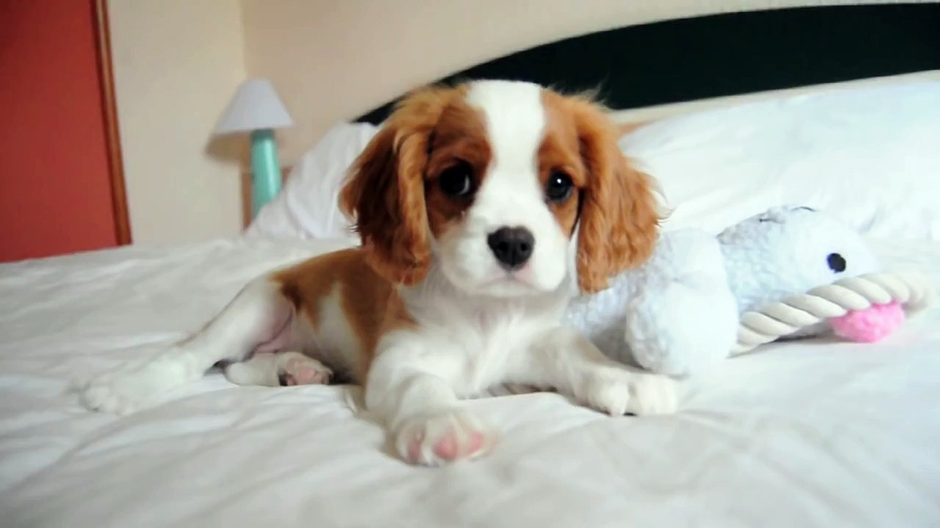 Brandy The Cutest Cavalier King Charles Spaniel Puppy Ever Dog Baby At The Bed Video Dailymotion