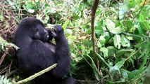 Mountain Gorillas of Bwindi Impenetrable forest in Uganda