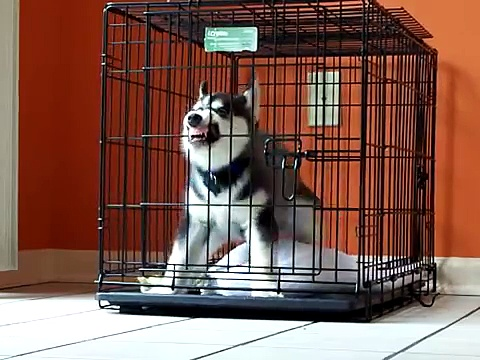 Siberian Husky Puppy HATES his crate